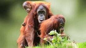 Pelepasliaran Tiga Belas Orangutan di Hutan Kalimantan Tengah