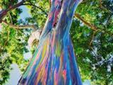 Gambar sampul Asal Tahu Saja, Pohon Pelangi Terindah di Dunia Ada di Indonesia