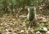 Misteri Tupai Penghisap Darah Pemangsa Kijang yang Hidup di Belantara Borneo