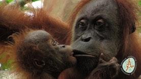 Cagar Alam Jantho, Rumah Menyenangkan Orangutan Sumatera