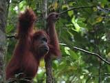 Gambar sampul Berbagi Ruang Hidup dengan Orangutan di Stasiun Penelitian Ketambe