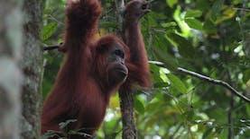 Berbagi Ruang Hidup dengan Orangutan di Stasiun Penelitian Ketambe