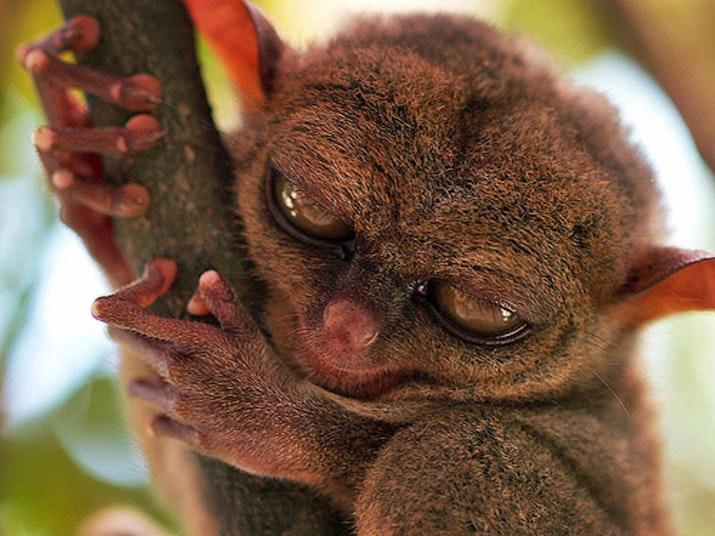 Tarsius, Primata Asal Sulawesi yang Menginspirasi Karakter Star Wars