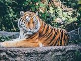 Gambar sampul Hari Harimau Sedunia: Mengenang Kembali Spesies Jawa dan Bali yang Telah Punah