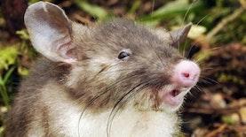 Mahasiswa Indonesia dibalik Penemuan Spesies Tikus Hidung Babi