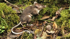 Tikus Spesies Baru Ditemukan di Sulawesi