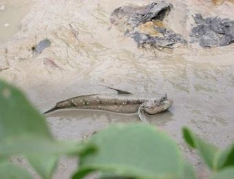 Gelodok, Ikan Amfibi Khas Penghuni Habitat Berlumpur