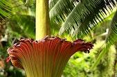 Fase Pertumbuhan Titan Arum, Bunga Tertinggi di Dunia
