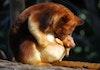 Mengenal Kanguru Asli Indonesia