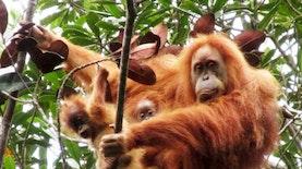 Pernah Terpikir Bagaimana Bayi Kembar Orangutan?
