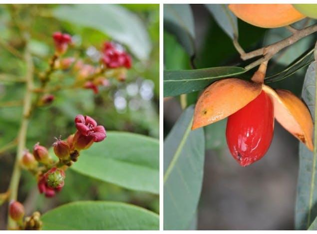 Tumbuhan Langka dari Sulawesi, Getahnya Mengandung Banyak Nikel