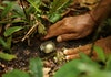 Jamur Mata Sapi, Jamur Khas Kalimantan Yang Tersembunyi