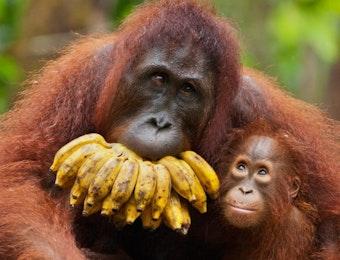 Foto: Seekor Orangutan di Kalteng Ambil Kamera GoPro dan Berfoto-foto Selfie