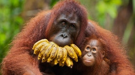 Pencegahan Perdagangan Liar di sumatra tinggi