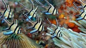 Yuk Melihat Keindahan Ikan Endemik Pulau Banggai ini