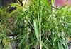 Tanaman Asal Papua Ini Bisa Jadi Obat Antikanker Kolorektal
