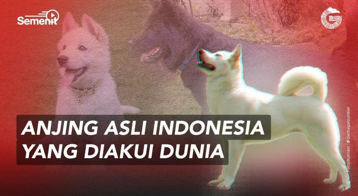 Gambar sampul Anjing Kintamani, Ras Anjing Asli Indonesia