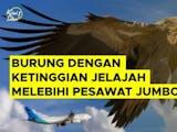 Gambar sampul Burung dengan Ketinggian Jelajah Melebihi Pesawat Jumbo